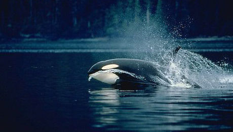 Orca Whale Watching