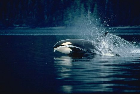 Splashing Waves break for Killer Whale