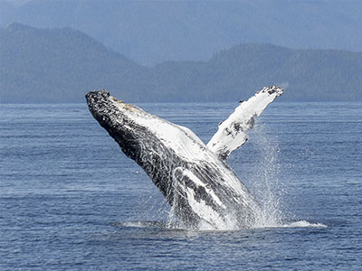 Alaska Cruise Whale Watching Excursions