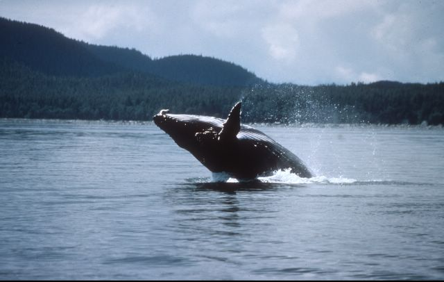 Alaska cruise whale watching free whale watching excursion onboard enjoy the spectacular majesty of alaskan whales up close and personal voltagebd Gallery