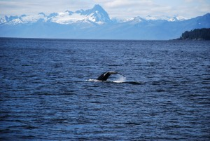 Alaska Cruise Whale Watching